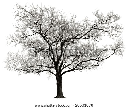 Tree without leaves isolated in white background - stock photo