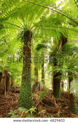 Treeferns in a cool temperate rainforest in Victoria, Australia. - stock photo