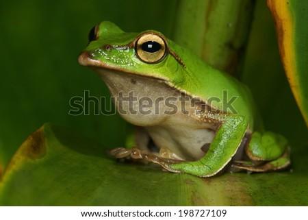 treefrog - stock photo