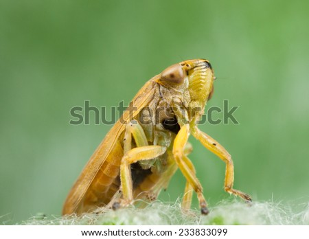 Treehopper close up  - stock photo