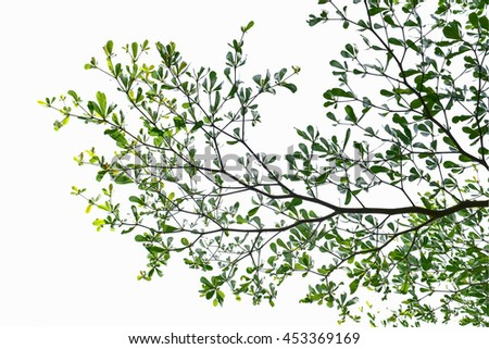Trees and branches with leaves are full of it.White background
