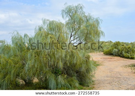 Trees  and gravel road between. Blue sky - stock photo