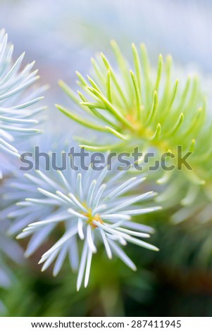 Trees and plants: two fir tree branches together, blue and green, close-up shot, selective focus, intentional artistic blur - stock photo