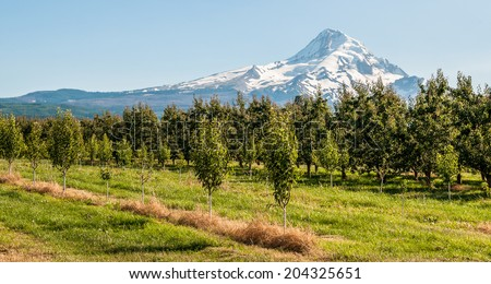 Trees at Mount Hood, Oregon - stock photo