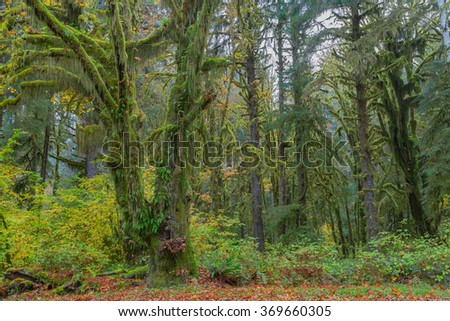 Trees covered with moss in Hoh Rainforest, Olympic National Park, Washington