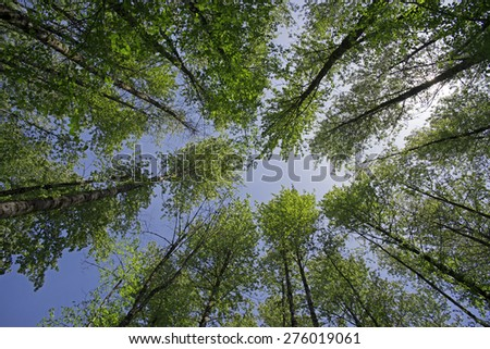 Trees, crown of tall trees in forest - stock photo