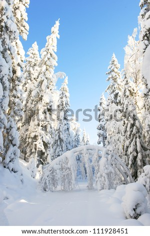 Trees heavy of snow in swedish forest - stock photo