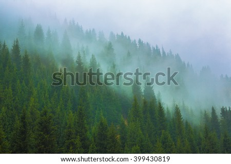trees in a fog on the mountain,Evergreen Forest  - stock photo