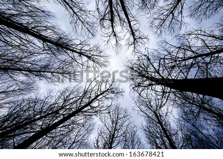 trees in a forest at sunrise view from below - stock photo
