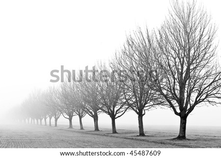 trees in a row in the fog in black and white
