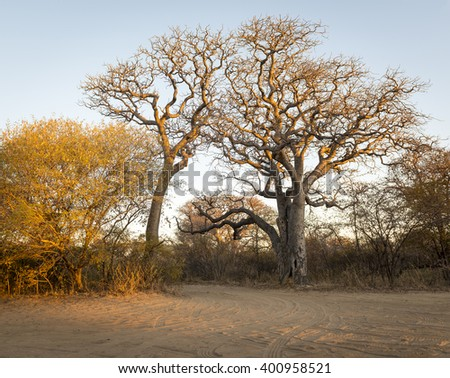 Trees in Africa at sunrise against a blue sky - stock photo