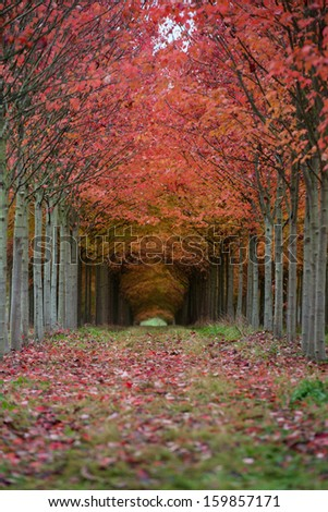 Trees in Beautiful Fall Color at Tree Farm Creating a Tunnel with Branches and Leaves - stock photo