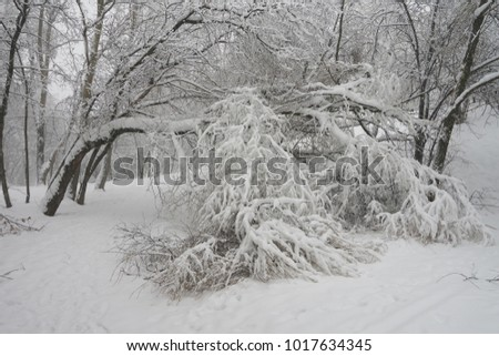 Trees in Moscow fail to withstand heavy snowfall. Yauza park, Babushkinkiy district.