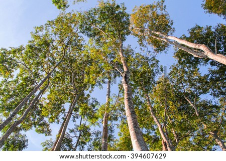 Trees in the forest. Tall trees - stock photo