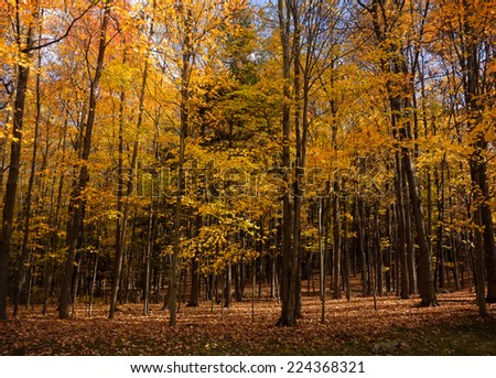 Trees in the forest with beautiful golden Autumn foliage. - stock photo