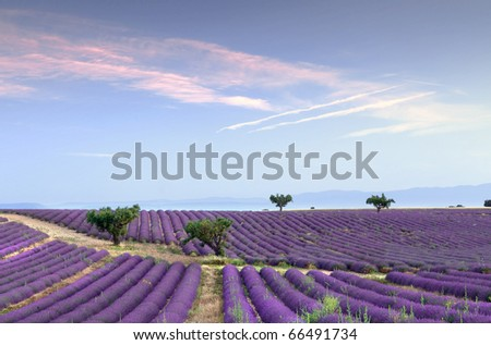 Trees in the rows of scented flowers in the lavender fields of the French Provence near Valensole - stock photo