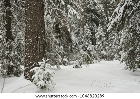 Trees in the wintery forest covered with huge snowcaps in time of the snowfall