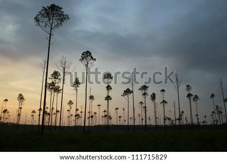 trees in twilight - stock photo