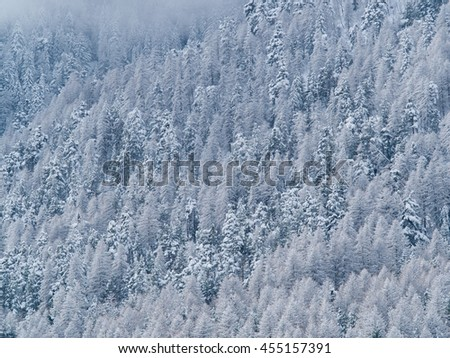 trees of a forest in the Alps on the side of a mountain covered with snow and ice After a snowstorm