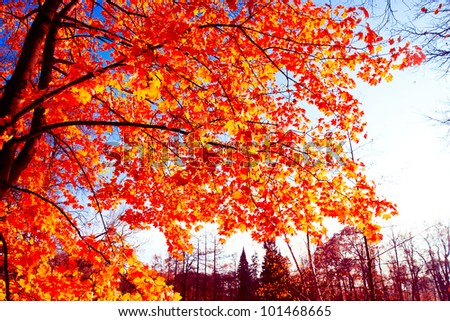 Trees of Yellow Fall Wallpaper - stock photo