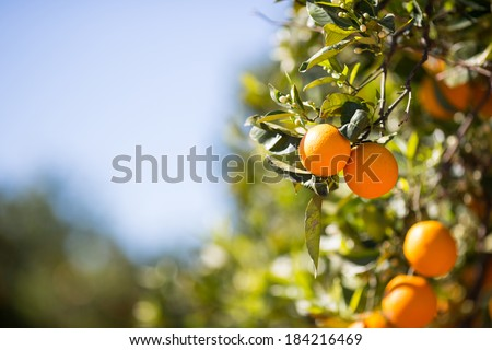 Trees with orange typical in the province of Valencia, Spain - stock photo
