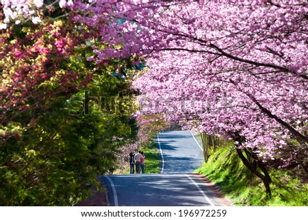 Trees with pink and red blossoms lining the road.