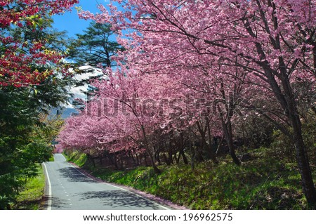 Trees with pink blossoms lining one side of a road.