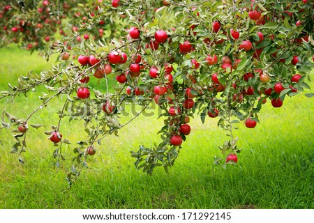 Trees with red apples in an orchard - stock photo