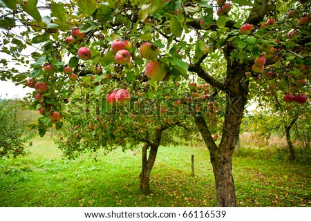 fruit tree stock images, royaltyfree images  vectors  shutterstock, Beautiful flower
