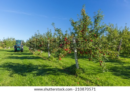 Trees with ripe red apples in a farm's apple orchard. - stock photo