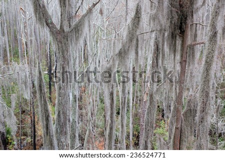 Trees with Spanish Moss hanging from the branches, from the Okefenokee Swamp in South East Georgia, USA