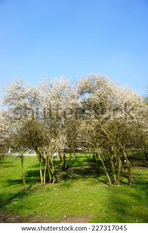 Trees with white flowers on a clear spring day