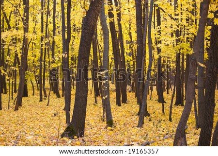 Trees with yellow leaves autumn background