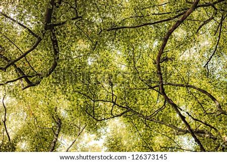 treetop canopy - stock photo