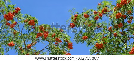Treetop of a rowan tree with ripe red rowan berries, taken as a panorama image against a blue sky. - stock photo