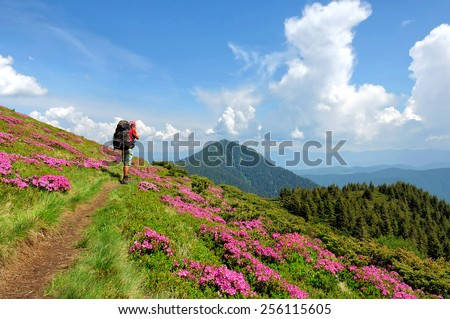 Trekker walking on  flowers  field rhododendron in mountain - stock photo