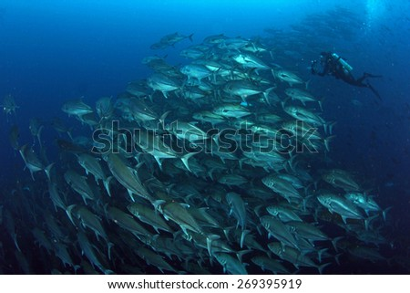 Trevally baitball in Darwin and Wolf in Galapagos Ecuador with a diver - stock photo