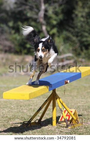 Tri color border collie dog leaps from the agility teeter - stock photo