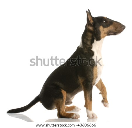 tri-color bull terrier sitting ready to shake a paw - stock photo