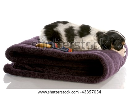 tri color cavalier king charles puppy on fuzzy blanket - six weeks old - stock photo