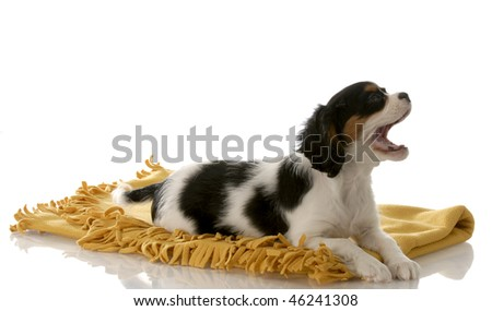 tri color cavalier king charles spaniel with mouth open laying on yellow blanket on white background - stock photo