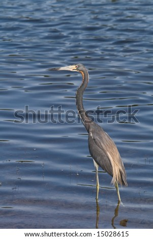 Tri color heron wading in the shallow water of a lake - stock photo