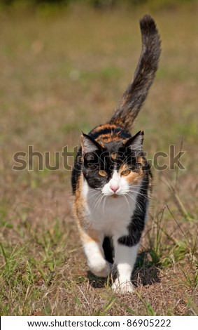 Tri-colored calico cat running towards the viewer with her tail confidently up high - stock photo