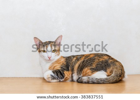 Tri colored cat sit and lie on wood floor and white background, it looking to the front eye contact with copy space - stock photo