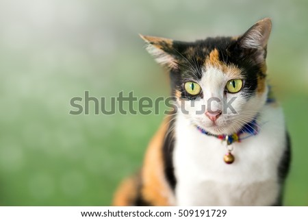 Tri colored cat sitting on grass field in the morning blur background with copy space