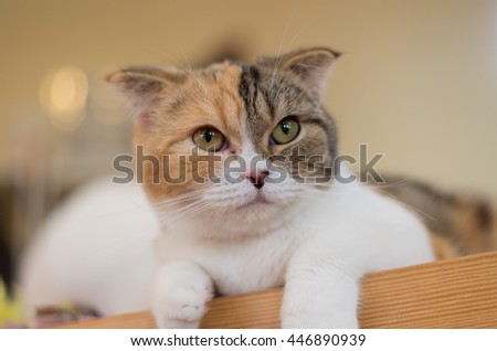 Tri-colored face Scottish Fold cat  - stock photo