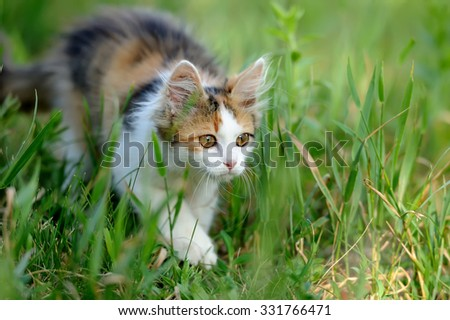 Tri colored young cat in the summer grass - stock photo