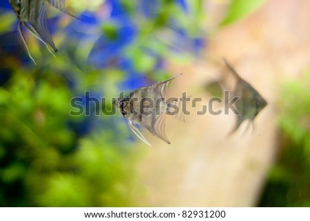 Triangle fishes in aquarium - stock photo