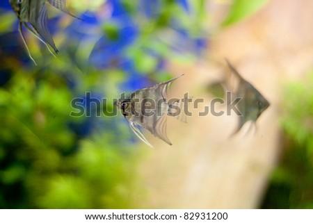 Triangle fishes in aquarium - stock photo