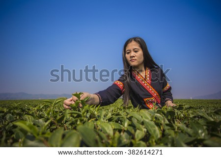 Tribe woman pick tea leaves in tea plantation. with traditional clothes at Chiang Rai Province North of Thailand - stock photo